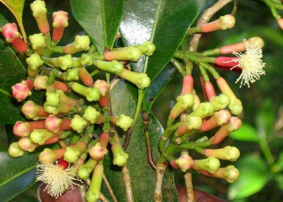 Kết quả hình ảnh cho cây Đinh hương